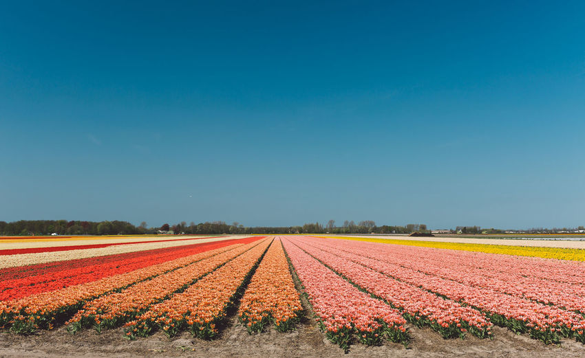 Netherlands Agriculture Beauty In Nature Blue Copy Space Crop  Environment Farm Field Flower Flowers Gardening Growth Land Landscape Nature No People Outdoors Park Plant Rural Scene Scenics - Nature Sky Spring Springtime Tranquil Scene Tranquility