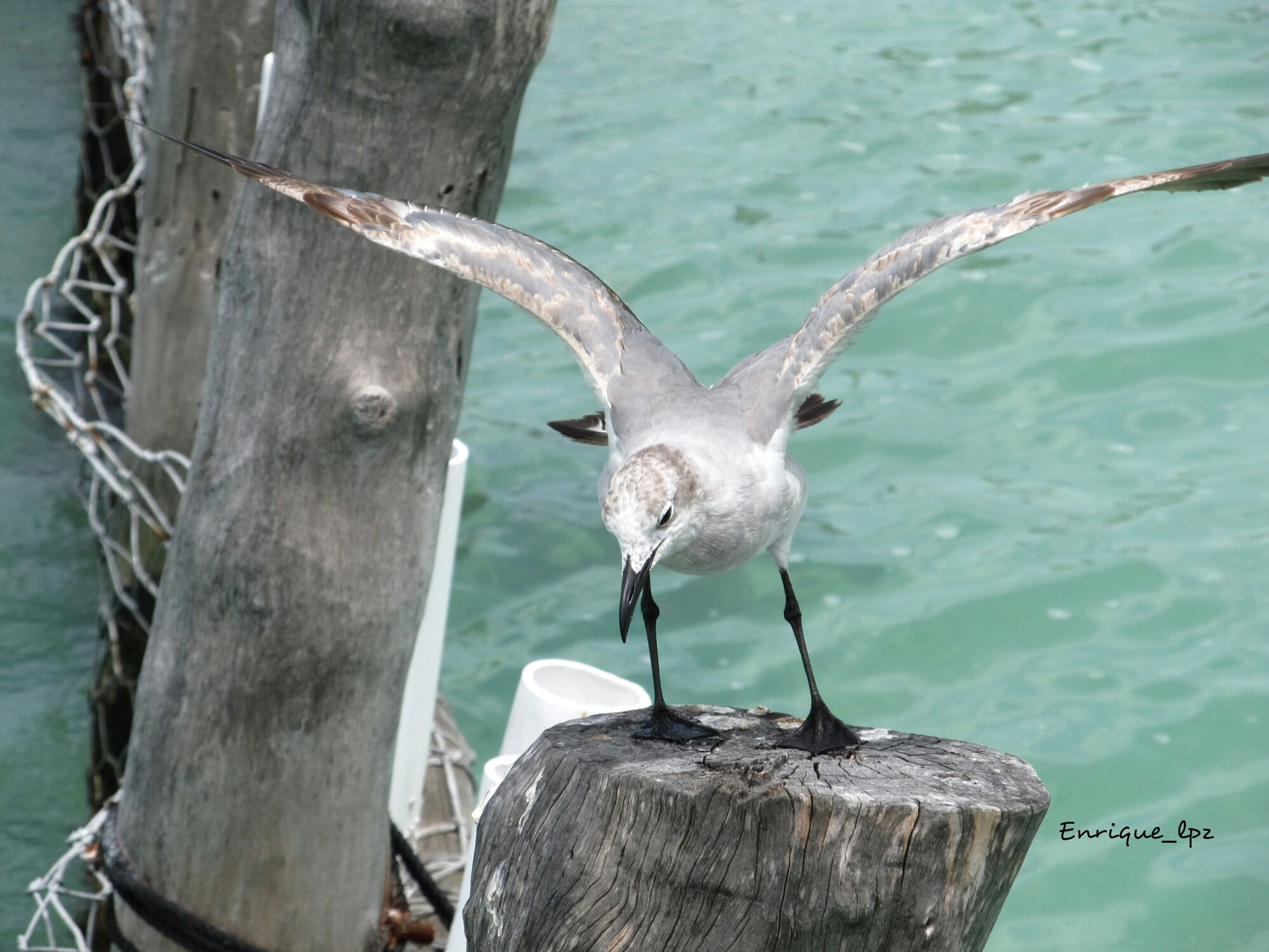 animals in the wild, animal themes, wildlife, water, bird, one animal, perching, sea, nature, focus on foreground, seagull, day, wood - material, wooden post, outdoors, close-up, no people, beauty in nature, lake, branch