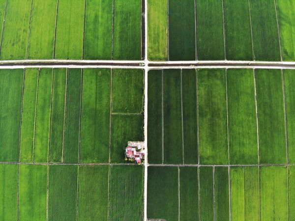 Aerial view of green paddy field Plantation Cultivated Land Farmland Rice Paddy Rice Field Sunlight Beautiful Landscape Nature Outdoor Travel View Aerial Shot Aerial Photography Dronephotography EyeEm Nature Lover EyeEm Selects Getty Images EyeEm Best Shots Malaysia EyeEm Gallery Soccer Field Playing Field Net - Sports Equipment Field High Angle View Soccer Grass Green Color Aerial View