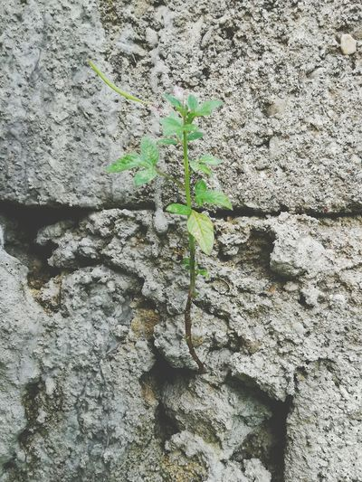 Plant Green Wall No People Green Color Leaf Growth Backgrounds Human Hand Nature Outdoors Huaweiphotography P9LitePhilippines
