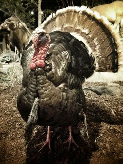 on a bear (sp. bahr) hunt when I came upon this jive turkey at Cabelas. Jiveturkey Snapseed Birds Feathers Bear