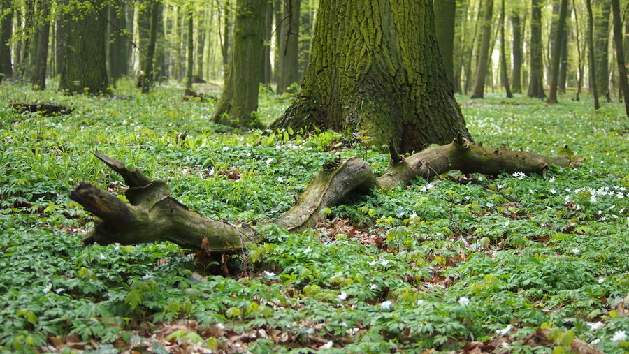 Nature Photo Session - Forest - Trees - Plants - Trees Beauty In Nature Day Dead Tree Flowers Forest Forest Floor Forest Floor With Flowers Forest Flowers Forest Photography Grass Growth Lying Down Nature No People Outdoors Tree Tree Trunk