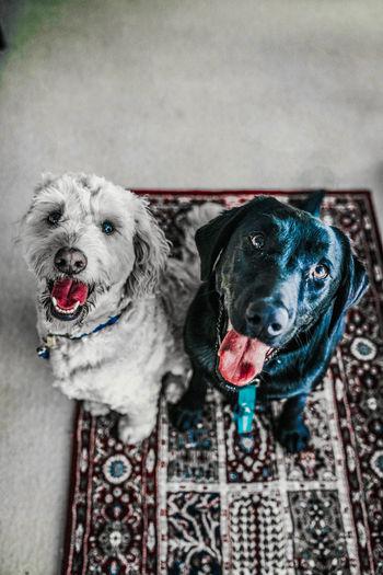 two dog white