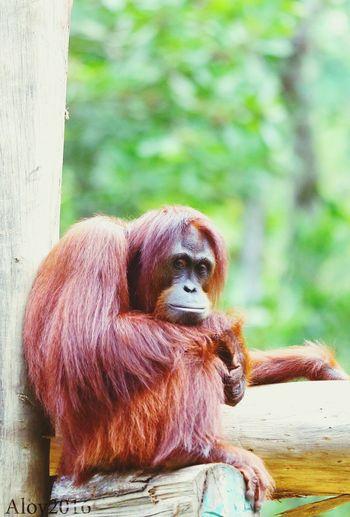 The orang utan of Borneo...