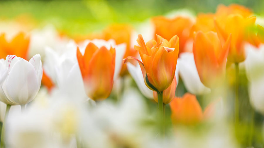 Blooming white and orange tulips in a large foliation group Beauty In Nature Blooming Close-up Crocus Day Field Flower Flower Head Fragility Freshness Growth Nature No People Outdoors Petal Plant Selective Focus Springtime Tulip Yellow