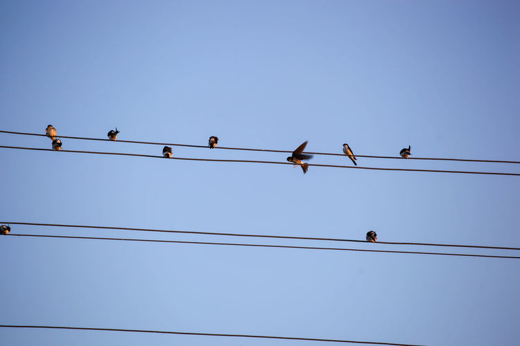 The swallows, martins and saw-wings, or hirundinidae, are a family of passerine birds