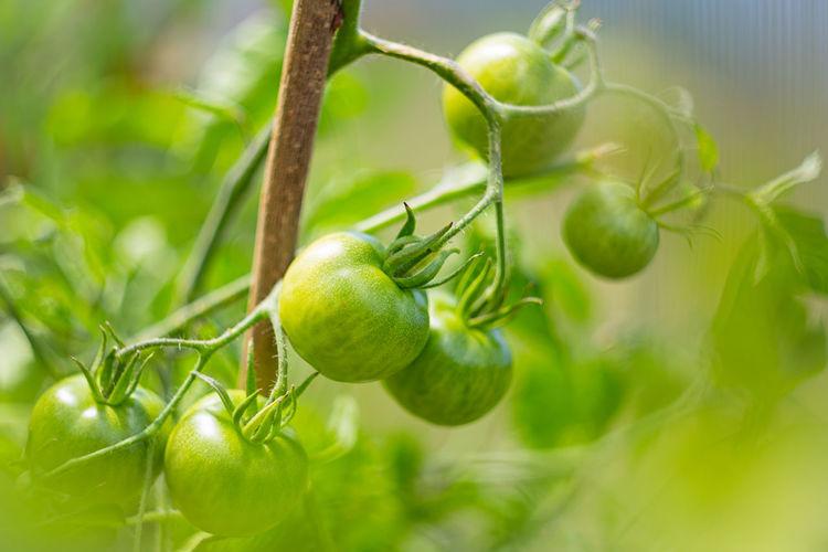 Green unripe