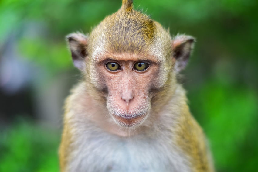 Rhesus Macaque Animal Themes Animal Wildlife Animals In The Wild Close-up Day Domestic Animals Focus On Foreground Grass Green Color Looking At Camera Mammal Monkey Nature No People One Animal Outdoors Portrait Young Animal Pet Portraits