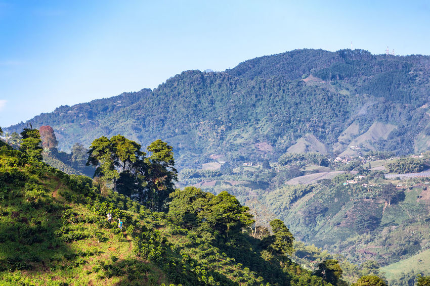 Morning light hits the hillside of a Coffee plantation near Manizales in the Coffee Triangle of Colombia. Andes Caffeine Coffee Colombia Farm Latin Manizales Nature Plant South Travel America Arabica Bean Caldas Chinchina Colombian  Drink Landscape Mountain Organic Plantation Robusta Triangle Tropical