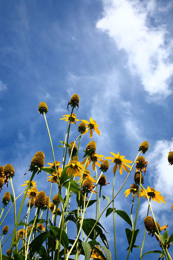 Low angle view of rudbeckia flowers against a blue summer sky background Cone Flowers Gardening Nature Summertime Background Beauty In Nature Black Eyed Susans Cloud - Sky Clouds Day Daylight Flower Flower Head Flowerbed Flowers Fragility Garden Growth Low Angle View Nature No People Rudbeckia Flowers Sky Summer Vibrant