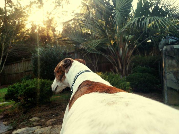 Dog Relaxing In Backyard