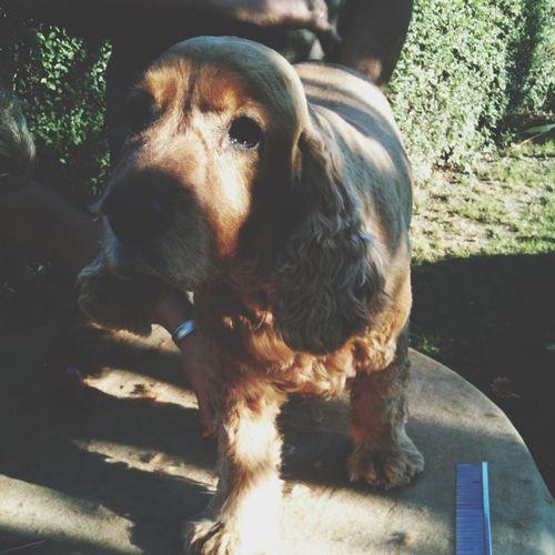 Dog Dogs Pets Cockerspaniel