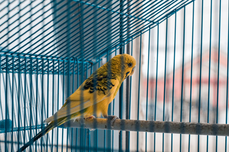 Parrot Prisoner Trapped Blue Cage Budgerigar Full Length