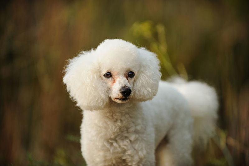 White Miniature Poodle dog outdoor portrait Poodle Animal Themes Close-up Day Dog Domestic Animals Focus On Foreground Looking At Camera Mammal Mini Miniature Poodle Nature No People One Animal Outdoors Outside Pets Poodle Portrait Tree White White Color