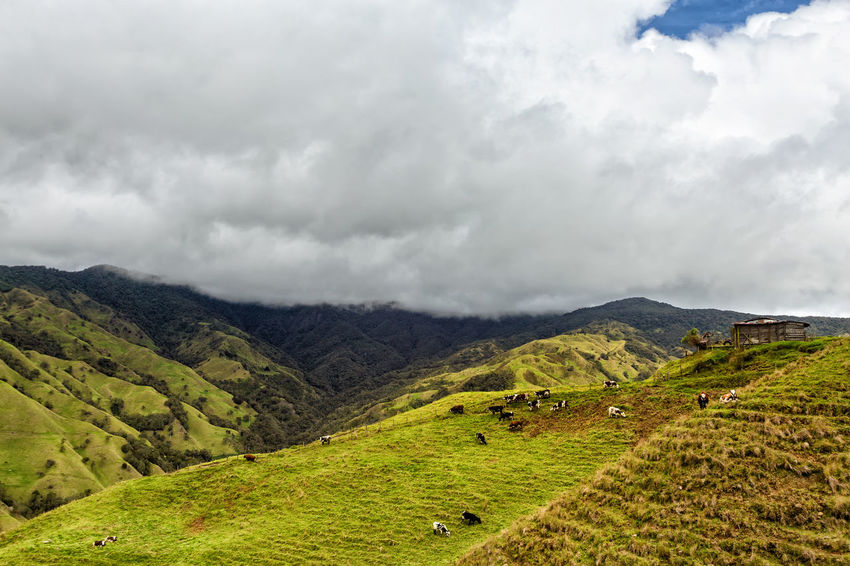 Cows grazing on the top of a ridge in the mountains outside of Salento, Colombia. Cloud Colombia Farm Hiking Palm Pasture Quindío Rural Tree Trip Agriculture Andean Cauca Colombian  Countryside Forest Grazing Hike Jeep Landscape Quindío Salento Tolima Trek Wax