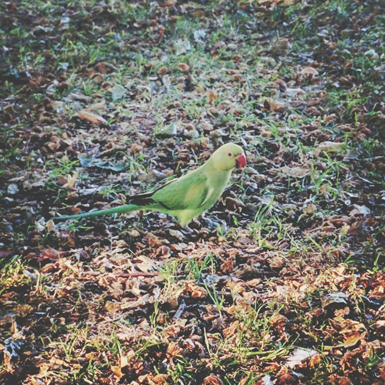 bird, animal themes, green color, one animal, animals in the wild, high angle view, day, nature, no people, field, outdoors, leaf, close-up