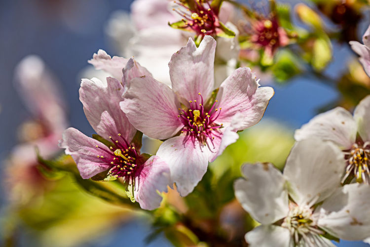 Flowering Plant Flower Fragility Beauty In Nature Plant Freshness Petal Inflorescence Flower Head Selective Focus Pollen No People Nature Pink Color Blossom Focus On Foreground Springtime Cherry Blossom Cherry Tree Spring Close-up Growth Vulnerability  Day Outdoors