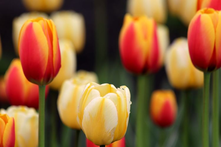 Tulips almost ready for The Ottaws Tulip Festival. Flower Freshness Close-up No People Growth Flower Head Plant Nature Tulips Flowers Tulips🌷 Tulip Outdoors Petal Plant