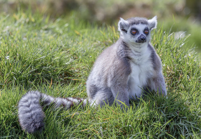 Lemur on Grass Sitting Animal Wildlife Day Field Grass Green Color Land Lemur Looking At Camera Mammal Nature No People One Animal Outdoors Plant Portrait Portraiture Primate Sitting Vertebrate