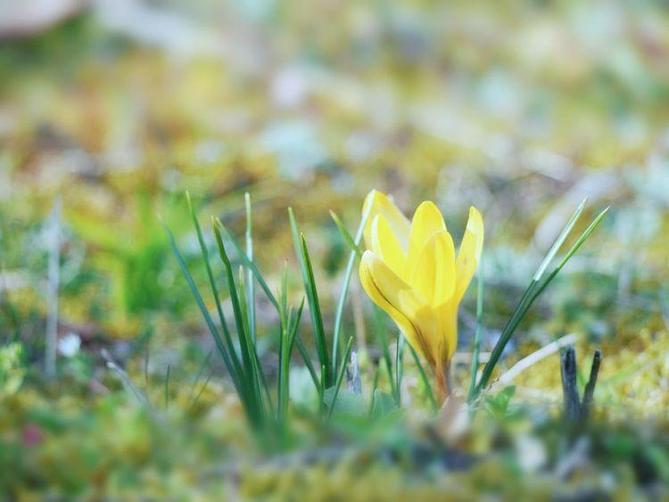 いいお天気♪ Spring Springtime 日だまり クロッカス Flower Flower Collection Yellow Flower Nature Beauty In Nature EyeEm Nature Lover EyeEm Gallery Eyemphotography Blossom