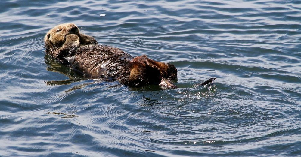 Sea Otters Relaxing Beach Photography Beachphotography Nature Photography Nature_collection Ocean Ocean Mammals Otters Outdoor Photography Sea Otter