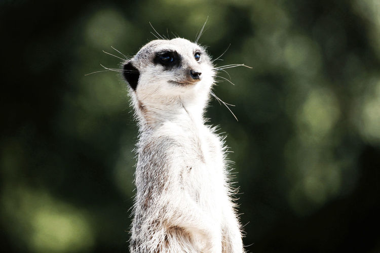 Close up shot of a meerkat looking. Animal Animal Head  Animal Themes Animal Wildlife Animals In The Wild Close-up Day Focus On Foreground Looking Looking At Camera Mammal Meerkat Nature No People One Animal Outdoors Plant Portrait Tree Vertebrate Whisker