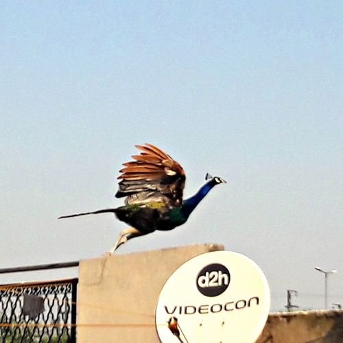 photography is the only language that can be understood anywhere in the world❤💛💚....... Peacock Colors Flying High Beautiful Peacock Zoom Sky EyeEmNewHere Moving Around Rome Modern Workplace Culture