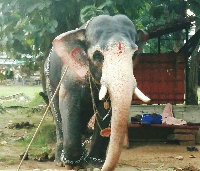 Indian elephant. ........ First Eyeem Photo Altars