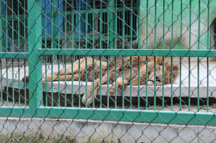 Animal Themes Animals In Captivity Cage Caged Chain Link Fence Chainlink Fence Day Domestic Animals Fence Focus On Foreground Grid Large Group Of Objects Lion Metal Outdoors Protection Safety Security Separation Trapped Wire Mesh Zoo