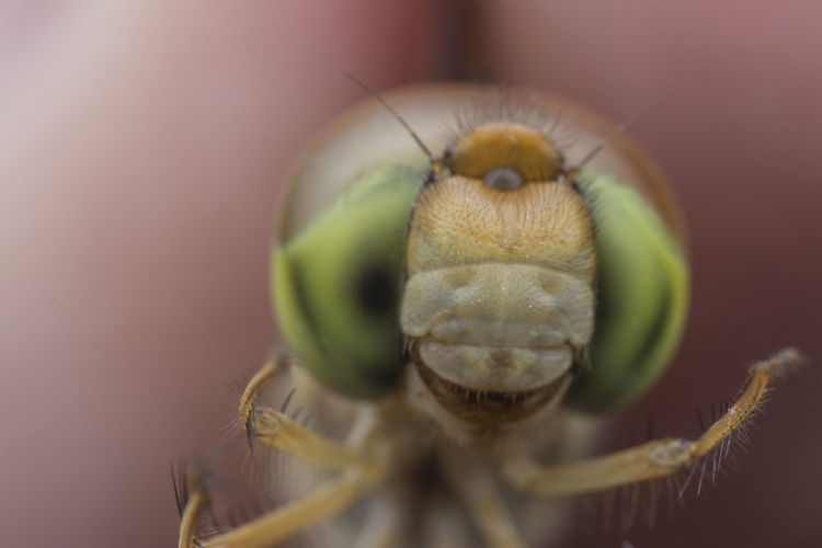 Female dragonfly