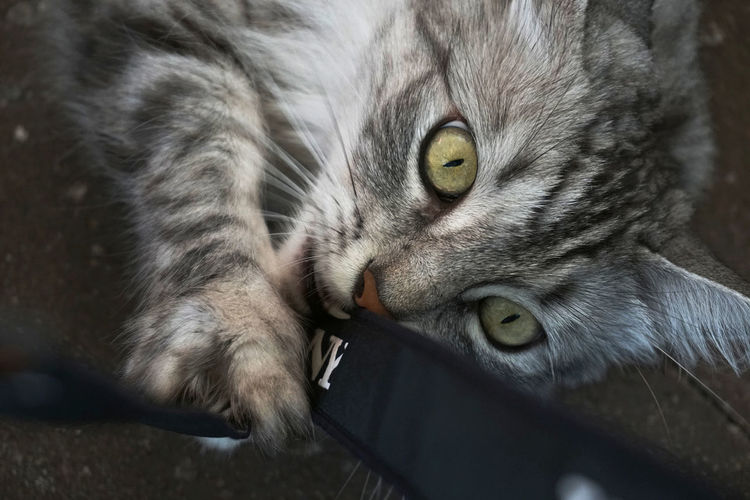 Close-up portrait of cat playing with strap