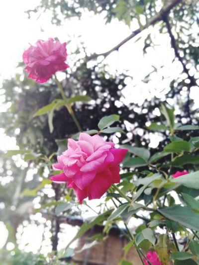 Rose Flower Head Flower Tree Branch Pink Color Springtime Petal Blossom Close-up Sky Apple Blossom Cherry Blossom Almond Tree Wild Rose Rose Hip Single Rose In Bloom