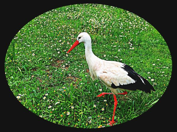 One Animal Bird White Color Grass Animals In The Wild Animal Themes Nature Outdoors Beauty In Nature Perfect Match Green Color The Week Of Eyeem Germany Photos Official EyeEm © Hello World EyeEm Best Shots Standing EyeEm Nature Lover Black Background Tadaa Community From My Point Of View Flowerbed