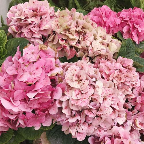 Pink Color Plant Flowering Plant Flower Freshness Beauty In Nature Fragility Nature Day No People Flower Head Botany High Angle View Outdoors