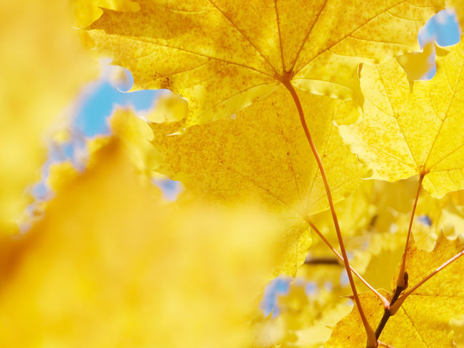 Yellow maple leaves on a tree Abstract Autumn Beauty In Nature Blue Branch Change Close-up Day Details Fragility Freshness Growth Leaves Macro Maple Leaf Natural Condition Nature No People Outdoors Plant Plant Part Selective Focus Sky Tree Yellow