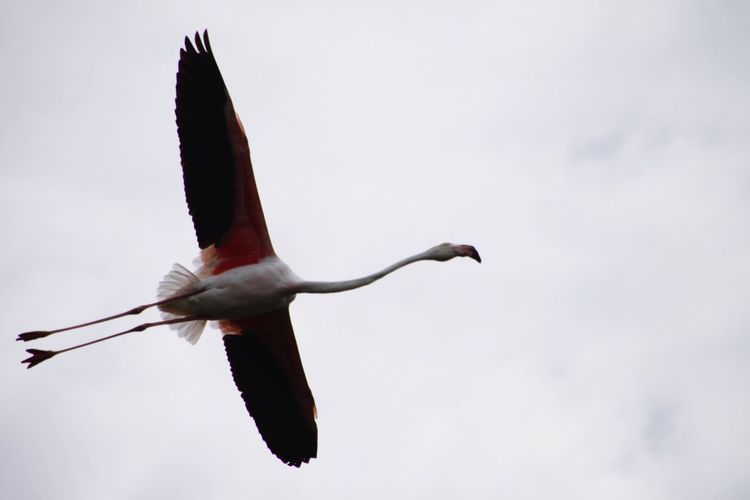 Low angle view of flying flamingo against clear sky