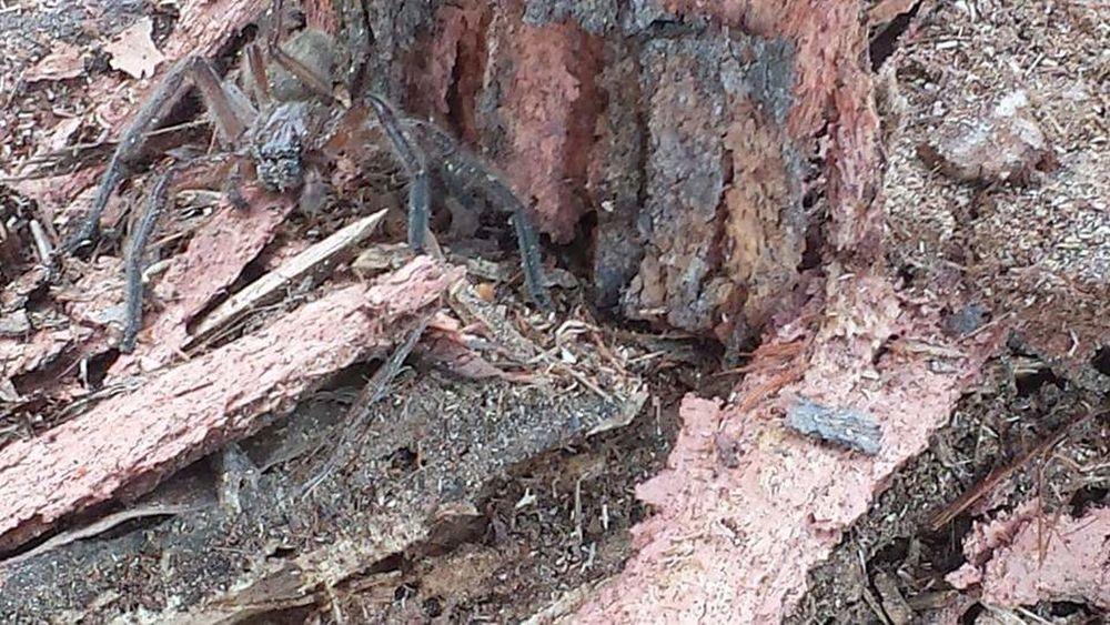 HuntsmanSpider Outdoors Day Close-up Nature Australian Bush, Bush Nature Samsung Galaxy S6 Huntsman Spider Spider Nature_collection Eyenaturelover Spiderworld