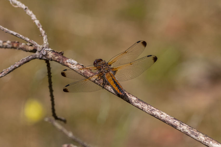 Vierfleck Animal Animal Themes Animals In The Wild Anisoptera Beauty In Nature Four-spotted Chaser Insect Insect Photography Insects  Insekt Insekten Insektenfotos Libelle Libellen Libellula Quadrimaculata Libellulidae Nature Vierflecklibelle Wild Wildlife