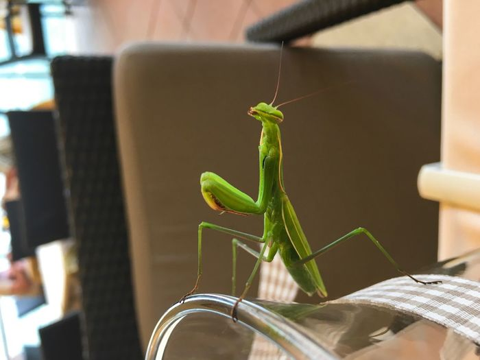 EyeEm Selects Praying Mantis One Animal Animal Themes Focus On Foreground Animals In The Wild Insect Indoors  Close-up Abugslife Green Wildlife Wild Animal Praying Praxis Claws Praying Mantis Mantis Bug