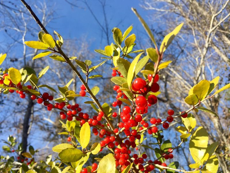 Tea Tea Plant Native Plants Yaupon Holly Holly Tree Growth Food And Drink Branch Leaf Freshness Outdoors Nature Day Focus On Foreground Low Angle View No People Red Beauty In Nature
