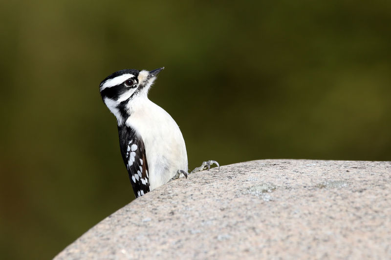 Close-up of woodpecker perching on rock