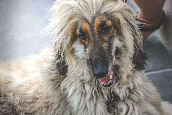 Afghan Hound Animal Themes Close-up Day Dog Domestic Animals Hound Human Body Part Long Hair Mammal One Animal Pet Pets The Portraitist - 2018 EyeEm Awards