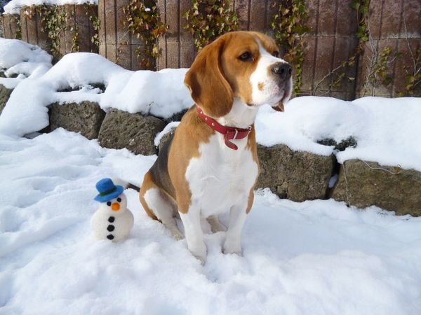 EyeEmNewHere Moritz Animal Themes Beagle Cold Temperature Day Dog Domestic Animals Mammal Nature No People One Animal Outdoors Pets Sandstone Sitting Snow Snowman Stone Winter Be. Ready.