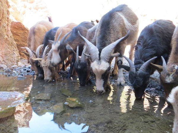 Animal Photography Animals Animals In The Wild Bolivia Desert Desert Beauty Desert Life Deserts Around The World Drink Drinking Goat Goat Life Goats Mountain View Mountains Wildlife & Nature