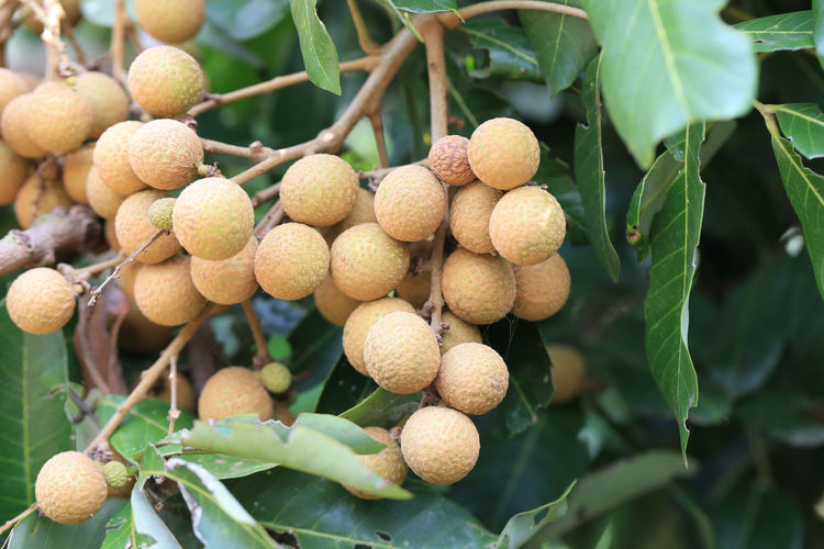 Fresh Longan on tree in the fruit garden,Tropical fruit with sweet taste of Thailand. Leaf Plant Part Food Food And Drink Healthy Eating Growth Fruit Plant No People Day Focus On Foreground Freshness Close-up Tree Nature Wellbeing Outdoors Selective Focus Green Color Beauty In Nature Lychee Longan Longan Fruit