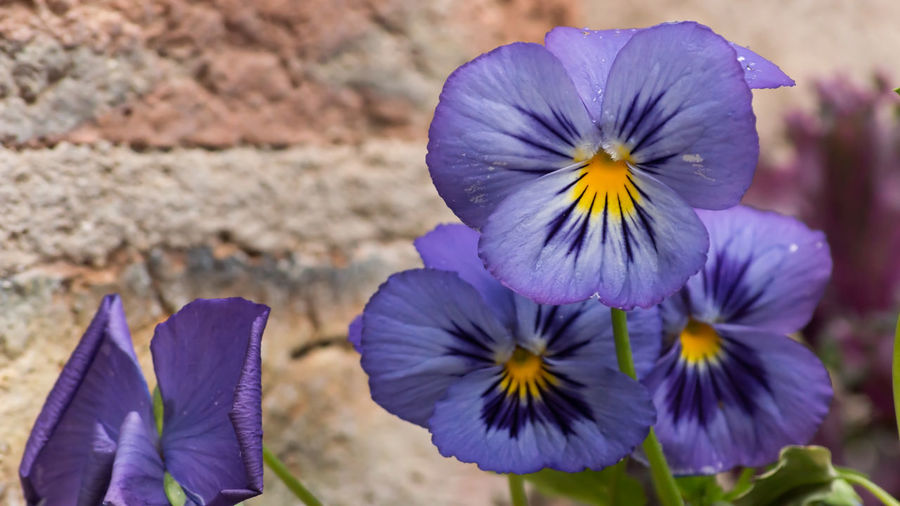 Pansies Beauty In Nature Blooming Close-up Day Flower Flower Head Focus On Foreground Fragility Freshness Growth Nature No People Outdoors Petal Plant Purple