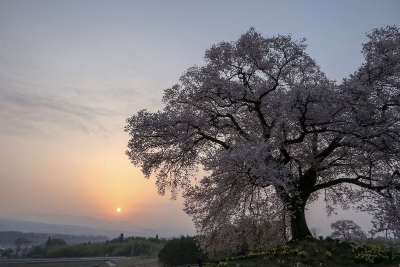 Sunrise EyeEm Best Shots EyeEm Nature Lover Sakura Tree Sky Plant Growth Beauty In Nature Tranquility Nature Tranquil Scene