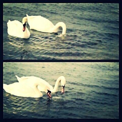 ❤? Instagood Swans