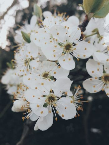 Nature White Color Blossom Branch Almond Tree Growth Twig Tree Springtime No People Flower Head Flower Close-up Outdoors Beauty In Nature Day Selfmade With Noahcamera