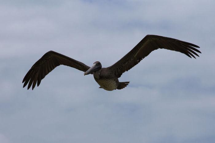 Animals In The Wild Bird Canon Celestun Digital Photography Eos1100D Flying Mexico Nature Pelican Spread Wings